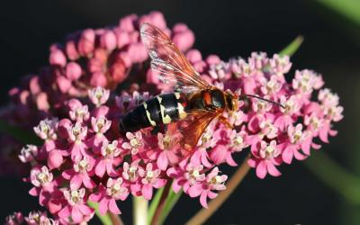 A large wasp on a pink flower.