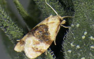 Cream colored moth with a dark brown band in the middle of its body.