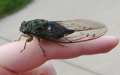 Brown and green insect with clear wings that are folded over its body like a tent.