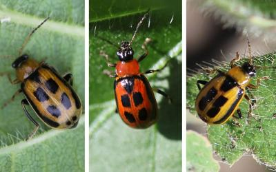Three bean leaf beetles. From Left: Brown beetle with black spots on a green leaf. Yellow beetle with black spots on a green leaf. Red beetle with black spots on a green leaf.