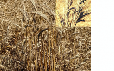 : Golden colored wheat field with much taller, golden colored, volunteer rye within.