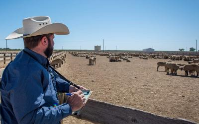 Young rancher taking a flock inventory outside a sheep pen.