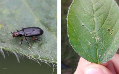 Left: Black beetle with a red head on soybean leaf. Right: Green soybean leaf with small holes near the center and edges.