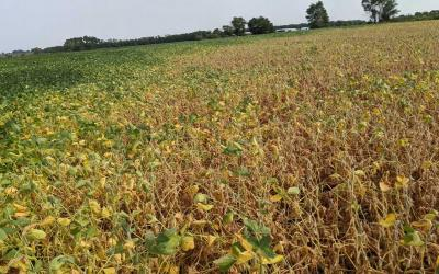 A soybean field with plants yellowing and dropping leaves in larger portion of the field while the rest of the field has green soybean plants.