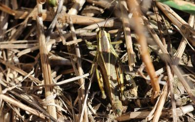 Green and brown grasshopper with two yellow lines that originate on the head and meet on the abdomen.