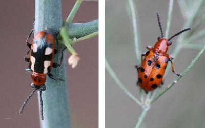 Left: Common asparagus beetle adult. Right: Twelve-spotted asparagus beetle adult.