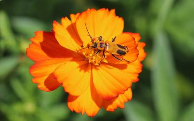 Orange beetle with black markings on an orange flower