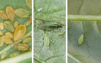 Three common aphids. From left: Green peach aphid colony. Potato aphid colony. Foxglove aphid on the underside of a pepper leaf.
