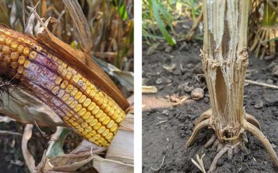 Left: A corn ear showing Gibberella ear rot symptoms. Right: A prematurely dried corn stalk split to reveal pith disintegration due to stalk rot.