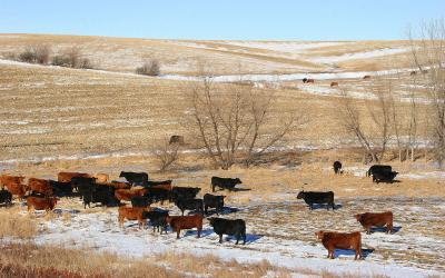 Mixed cattle grazing a harvested cornfield in winter.