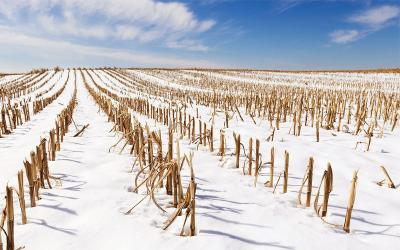 Harvested cornfield in winter.