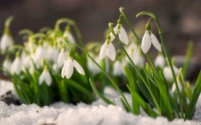 Snowdrop flowers blooming in a garden in late winter.