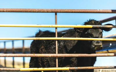 A black calf isolated in a feedlot.