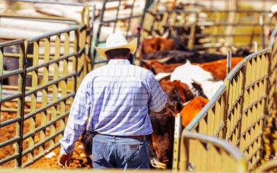 Rancher moving a group of feedlot cattle.