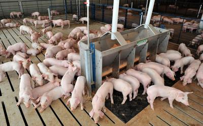 Herd of young pigs inside a wean-to-finish facility.