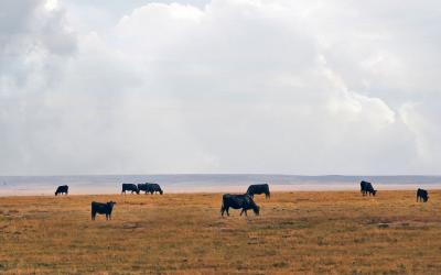 Small herd of mixed cattle grazing rangeland in late fall.