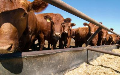 Several red angus cattle feeding at a feed bunk.