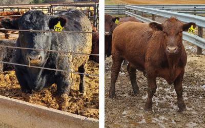 Left: Black cow with the appropriate amount of fat cover, or finish for market. Right: Red steer that needs more time on feed.