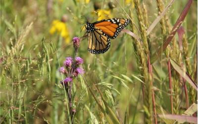 a monarch butterfly in a field