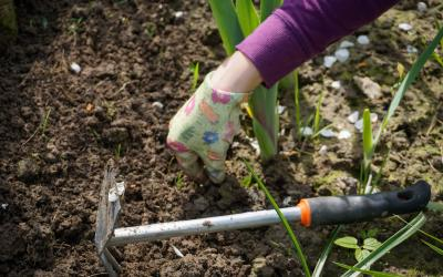 a hand with a colorful gardening glove pulling weeds with a gardening tools sitting in the row