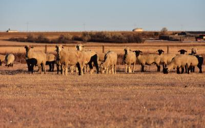 a herd of sheep standing in a pasture
