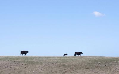 Two black angus cows with calf in a dry pasture.