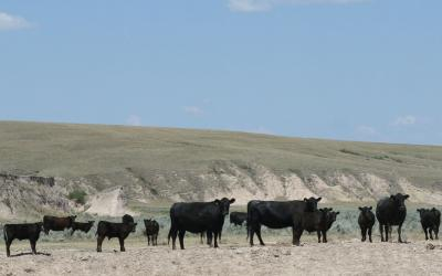 Cattle grazing drought-stressed rangeland in western South Dakota.