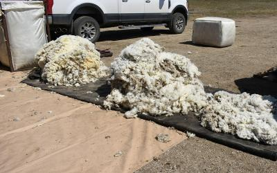 A pile of sheep fleeces ready for sorting.