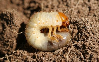 A grub that has an orange colored head and legs and a white body with a dark grey tip at the end. The grub is laying on top of the soil.